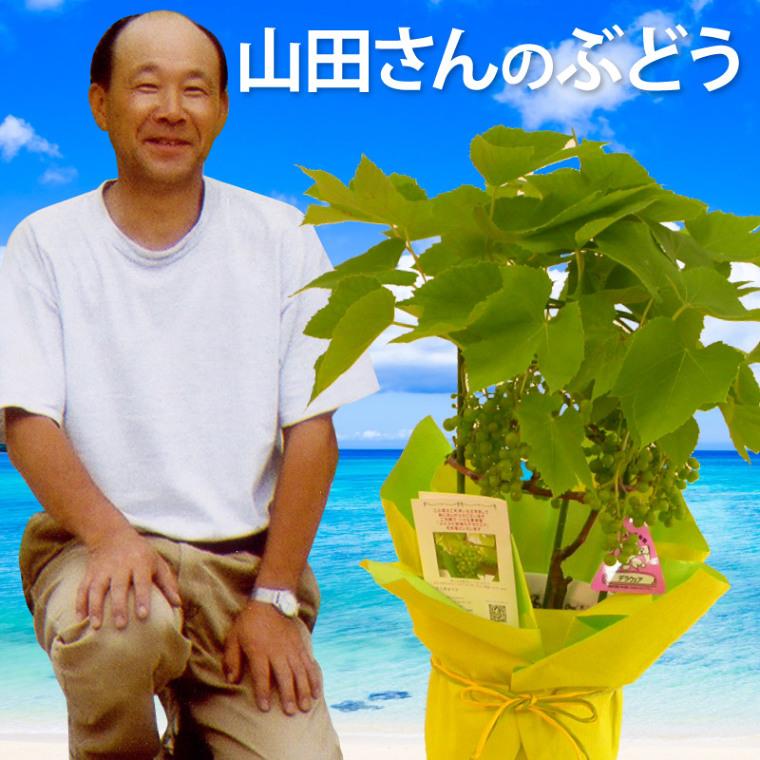 山田さんのぶどうの鉢植えデラウェア