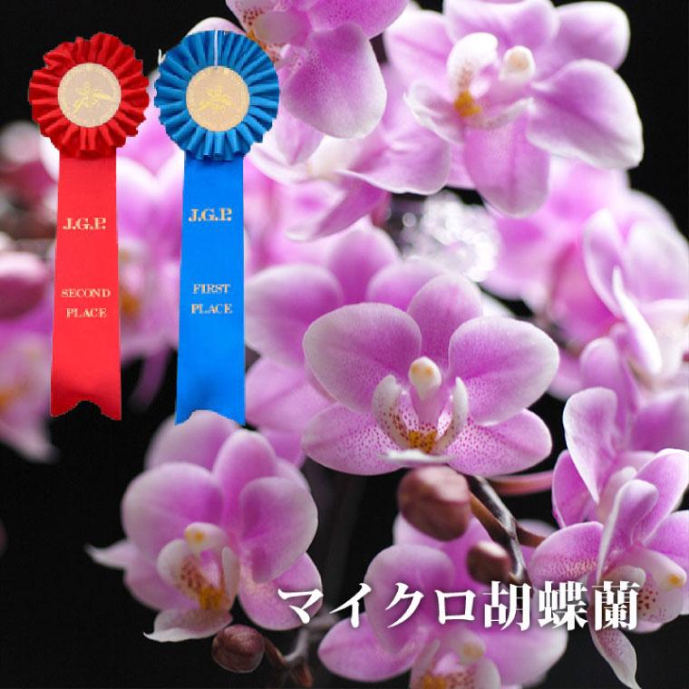 『選べるマイクロ胡蝶蘭・さくらん他』